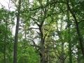 Białowieski Park Narodowy, rezerwat dębów